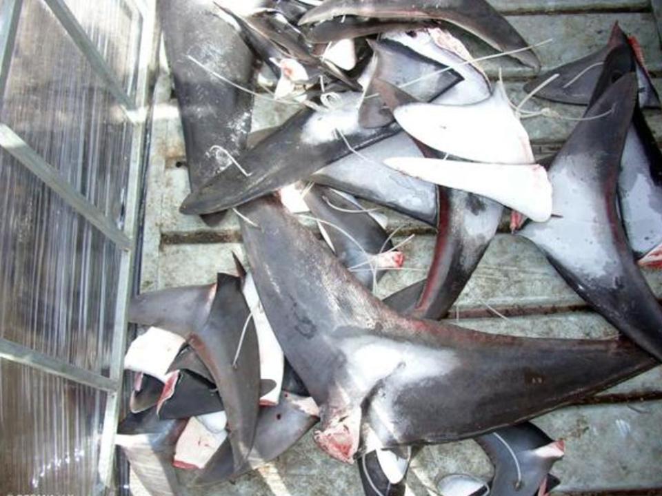 Vinculan a proceso a una persona por  extracción ilegal de aletas de tiburón