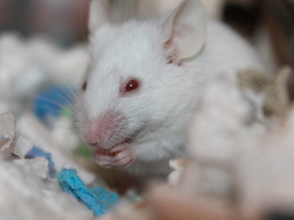 ¿Por qué los científicos experimentan con ratas y ratones?