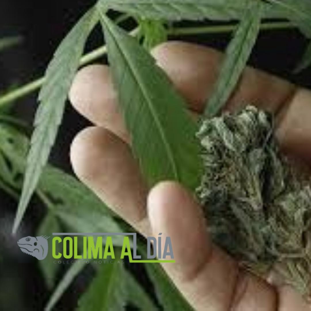 Podrían dar prisión de hasta 15 años quien produzca, trafique o comercie Cannabis