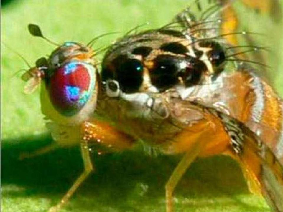 Por semana liberaran 22 millones de moscas estériles  para combatir a la mosca del mediterráneo